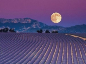 full-moon-lavender-2-300x225-275x206