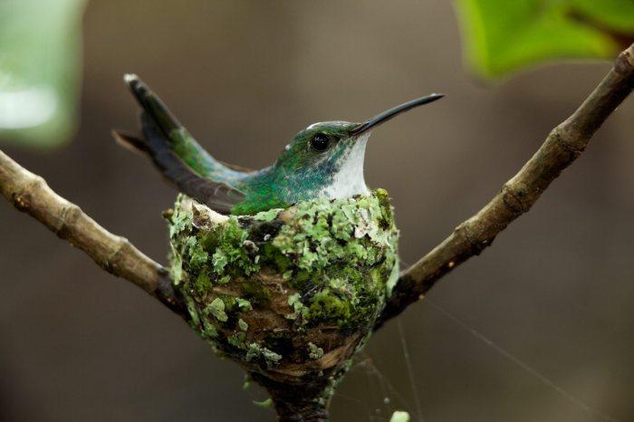 Hummingbird-nest