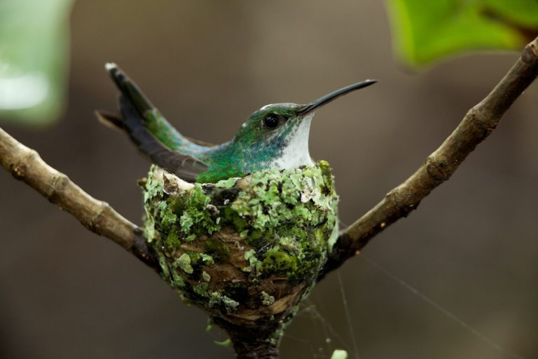 Hummingbird-nest